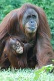 Entzückender Mutter-und Baby-Orang-Utan Lizenzfreie Stockfotos