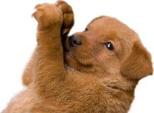 Entzückender roter Patterdale Terrier auf weißem backgroun Lizenzfreie Stockfotos