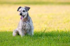 Entzückender Schnauzerhund, der im Gras mit copyspace sitzt Stockbild