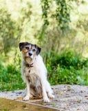 Entzückender Steckfassungsrussell-Terrier, der für die Kamera aufwirft Stockbilder
