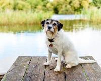 Entzückender Steckfassungsrussell-Terrier, der für die Kamera aufwirft Stockfotos