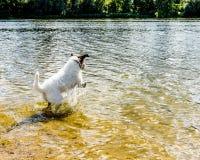 Entzückender Steckfassungsrussell-Terrier, der für die Kamera aufwirft Lizenzfreies Stockfoto