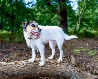 Entzückender Steckfassungsrussell-Terrier, der für die Kamera aufwirft Lizenzfreie Stockbilder