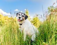 Entzückender Steckfassungsrussell-Terrier, der für die Kamera aufwirft Lizenzfreie Stockfotos