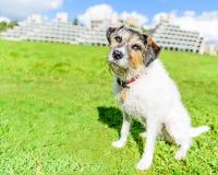 Entzückender Steckfassungsrussell-Terrier, der für die Kamera aufwirft Lizenzfreie Stockfotografie