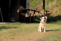 Entzückender streunender Hund, der ruhig auf Rasen des ländlichen Landhauses sitzt Lizenzfreie Stockbilder