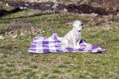 entzückender weißer Hund ganz eingewickelt oben in einer blauen Decke Lizenzfreie Stockbilder