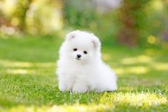 Entzückender weißer Pomeranian-Welpe Spitz lizenzfreie stockfotos
