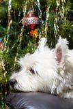 Entzückender weißer Westhochland-Terrier-Hund, der ihren Kopf auf Lehnsessel mit Weihnachtsbaum im Hintergrund stillsteht stockfotos