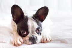 Entzückender Welpe der französischen Bulldogge Lizenzfreies Stockbild