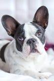 Entzückender Welpe der französischen Bulldogge Stockbild