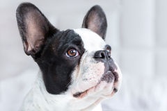 Entzückender Welpe der französischen Bulldogge Stockbilder