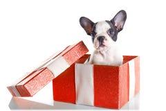 Entzückender Welpe der französischen Bulldogge in der Geschenkbox Lizenzfreies Stockbild