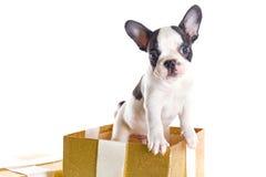 Entzückender Welpe der französischen Bulldogge in der Geschenkbox Stockbilder