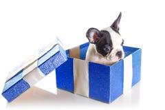 Entzückender Welpe der französischen Bulldogge in der Geschenkbox Lizenzfreie Stockfotos
