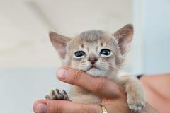 Entzückendes abyssinisches kleines Kätzchen auf Hände Stockbilder