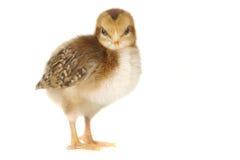 Entzückendes Baby Chick Chicken auf weißem Hintergrund stockbilder