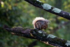 Entzückendes Eichhörnchen Stockfoto
