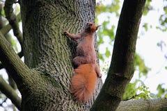 Entzückendes Eichhörnchen Lizenzfreies Stockfoto