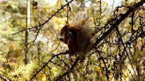 Entzückendes Eichhörnchen, Tamiasciurus hudsonicus, essend und rattert stock footage