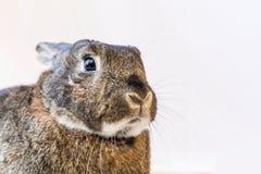 Entzückendes graues und braunes Kaninchenporträt Lizenzfreies Stockfoto