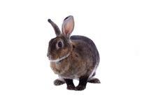 Entzückendes Kaninchen lokalisiert auf einem weißen Hintergrund Lizenzfreies Stockbild