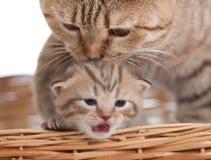 Entzückendes kleines Kätzchen mit Mutterkatze im Korb lizenzfreies stockbild