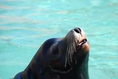 Entzückendes Meer Lion Poking His Nose Out des Wassers Lizenzfreies Stockfoto