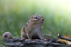 Entzückendes Oststreifenhörnchen schaut oben in einer weichen Waldherbstszene Lizenzfreies Stockbild