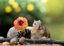 Entzückendes Oststreifenhörnchen wirft in der Fallsaisonszene auf Lizenzfreies Stockfoto