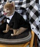 Entzückendes Pomeranian Lizenzfreie Stockfotografie