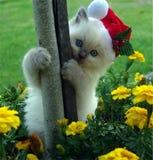 Entzückendes Ragdoll-Kätzchen bereit zum Weihnachten lizenzfreie stockbilder