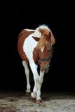 Entzückendes scheckiges Pony Walisers, das sein Bein anhebt Stockfotos