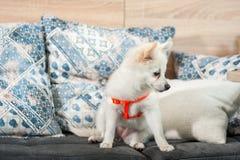 Entzückendes und nettes kleines weißes deutsches Spitz Mittel-Hündchen, das auf dem Sofa sitzt lizenzfreie stockfotos