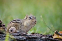 Entzückendes und nettes Oststreifenhörnchen schaut in einer Waldherbstszene aufmerksam Stockfotografie