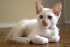 Entzückendes weißes Kätzchen mit den blauen Augen, die auf dem Boden sich entspannen stockfotografie