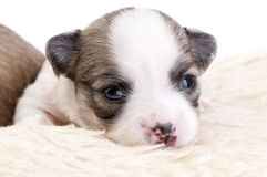 Entzückendes zwei Wochen altes Chihuahua-Welpenportrait Stockbild