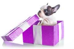 Entzückender Welpe der französischen Bulldogge in der Geschenkbox Stockfotografie