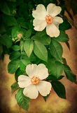 Entziehen Sie Hintergrund mit Rosen Stockbild