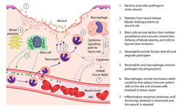 Entzündung und Wundheilung Stockfotos