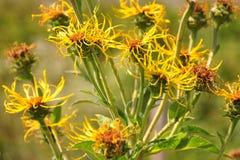 Enula campana (helenium di Inula) Immagini Stock