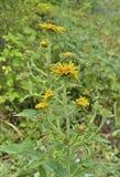 Enula campana medicinale 2 dell'erba Fotografia Stock