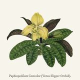 Venus Slipper OrchidPaphiopedilum Concolor found in 1825-1890. Enus Slipper OrchidPaphiopedilum Concolor found in 1825-1890 Royalty Free Stock Photography