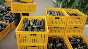 Envases de plástico con las berenjenas en invernadero dentro Frutas púrpuras oscuras maduras de la planta anual metrajes
