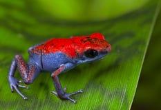 Envenene el escudo de la rana del dardo Foto de archivo libre de regalías