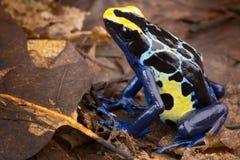 Envenene la rana del dardo Fotos de archivo libres de regalías