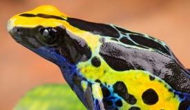 Envenene la rana del dardo Foto de archivo libre de regalías