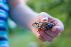 Frog in the hands of a child- enviroment, education ans happy childhood concept stock image