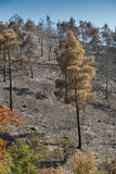 Enviromental damage with burned trees after forest fire Royalty Free Stock Image