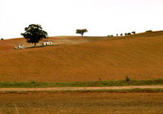 Environment. Alentejo, Portugal, E. U. Large fields of monoculture and the trees are gone. Few sentinels left to provide some shade to field workers and animals Royalty Free Stock Image